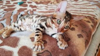 Бенгальська кішка купити Харків
